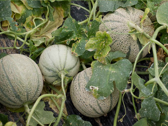 ECOLOGICAL CANTALOUPE MELON