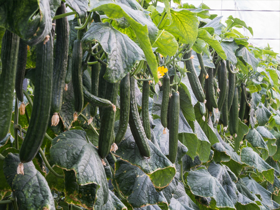 ECOLOGICAL ALMERIA CUCUMBER
