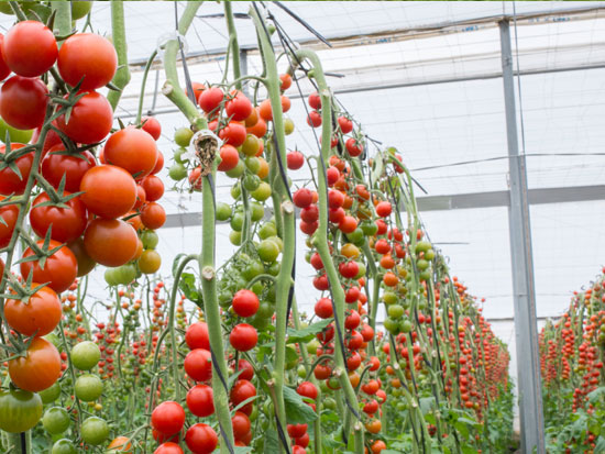 ECOLOGICAL CHERRY TOMATO ON THE VINE
