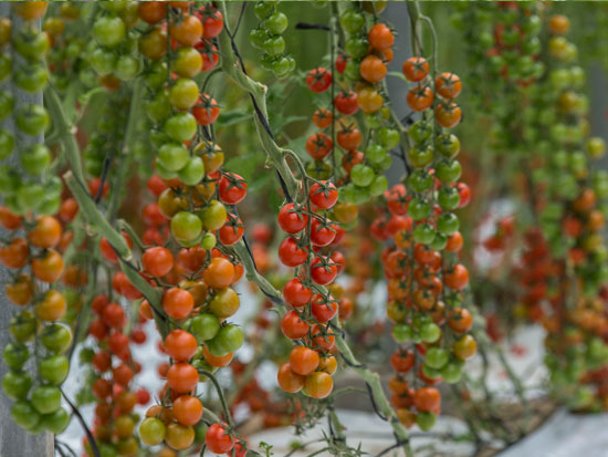 ECOLOGICAL ROUND CHERRY TOMATO