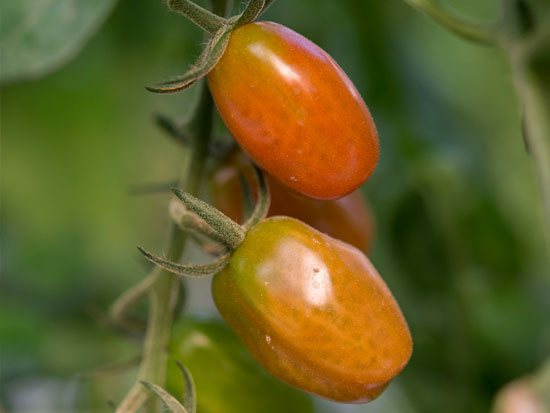 ECOLOGICAL PEAR TOMATO
