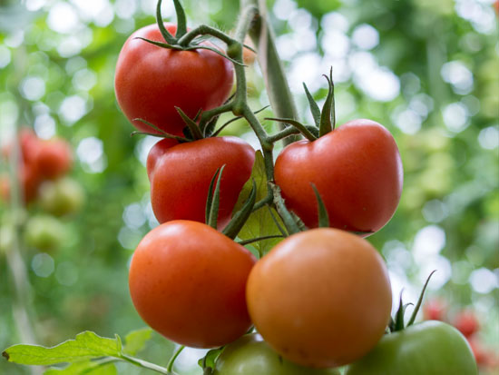 ECOLOGICAL TOMATO ON THE VINE
